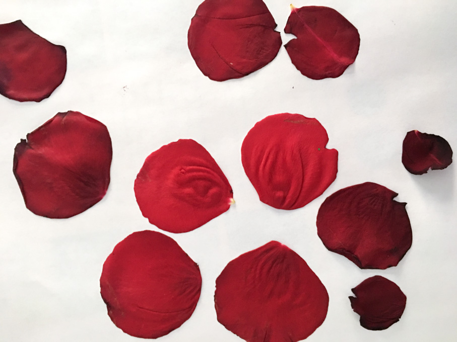 Pressing rose petals between the pages of a book to dry them